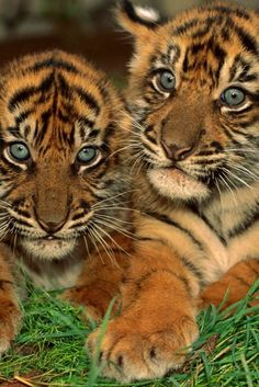 Tiger Cubs twins blue eyes sweet faces