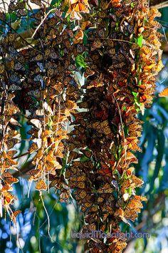 Monarch Butterflies Cluster in Santa Cruz California
