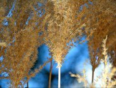 Pflegeleichte Ziergräser - Struktur - Herbstgarten - Winteraspekt - winterhart - Chinaschilf (Miscanthus sinensis)