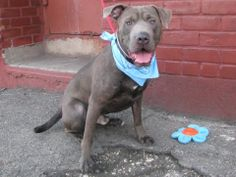 Brooklyn Center   BROOKLYN - A0992148   MALE, GRAY / WHITE, PIT BULL / CHINESE SHARPEI, 1 yr  OWNER SUR - EVALUATE, NO HOLD Reason LLORDPRIVA  Intake condition NONE Intake Date 02/21/2014, From NY 11372, DueOut Date 02/21/2014,