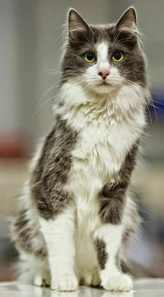 Top 5 most beautiful cat breeds. Turkish Angora just like my diva so beautiful Top 5 most beautiful cat breeds. Turkish Angora just like my diva so beautiful Cute Kittens, Cute Cats And Dogs, I Love Cats, Crazy Cats, Cool Cats, Cats And Kittens, Tabby Cats, Siamese Cats, Most Beautiful Cat Breeds