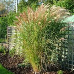 Miscanthus sinensis 'Ferner Osten' 1GAL 	 ORNAMENTAL GRASS 	 Product ID P48161G 	 $ 14.99
