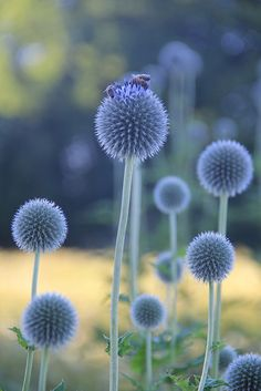 Thistles and bees... | Flickr - Photo Sharing!