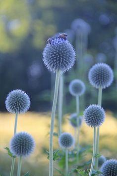Chardon bleu...
