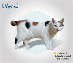 Did you know the Manx cat originated on the Isle of Man off of the coast of England, where the genetic mutation known as the Manx (or tailless) gene is common? Read more about this breed by visiting Petplan pet insurance's Condition Checker!