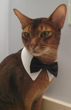 White point collar with interchangeable bow tie. ON A CAT!!! this is wonderful!