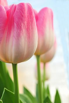 tulips are a girl's best friend.