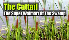 The Cattail: The Super Walmart Of The Swamp - There are few plants in North American that are more useful than the cattail. This wonderful plant is a virtual gold mine of survival utility. It is a four-season food, medicinal, and utility plant.