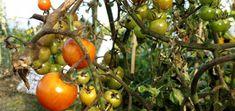 Neues vom Feld: Das Gewächshaus wird abgebaut  Die Braunfäule hat es geschafft: Die Tomaten sind hin – das Gewächshaus wird abgebaut.