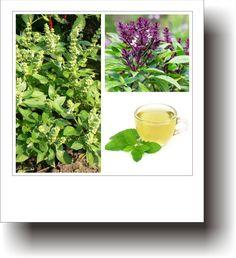 Plante medicinale – BUSUIOCUL SFÂNT Herbs, Plants, Varicose Veins, Herb, Plant, Planets, Medicinal Plants