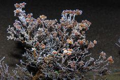 Altenberg - Austria Frost, Dandelion, Austria, Flowers, Plants, Pictures, Photos, Dandelions, Plant