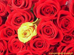 roses - .....www.perspektywamb.pl