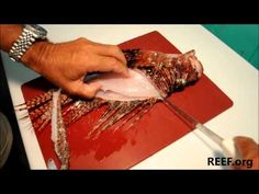 How to Fillet a Lionfish (genus Pterois - highly invasive, predatory species now threatening many reef fish populations in the FKNMS). Eat 'em to beat 'em! Reef.org in Key Largo is a leader in the fight to blunt the invasion via public education, lionfish derbies, promoting harvest and sale of lionfish at Keys restaurants and fish markets.