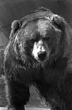 One Pissed off Grizzly Bear