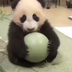 Baby panda playing his toy ball! Baby panda playing his toy ball! Niedlicher Panda, Panda Gif, Panda Love, Cute Panda Baby, Tiny Panda, Happy Panda, Panda Funny, Funny Animal Videos, Cute Funny Animals