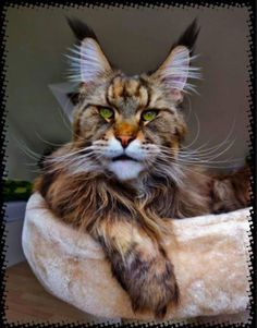 20 Best Amazing Pictures Of Maine Coon Cat - Cute Kittens, Cats And Kittens, Chat Maine Coon, Maine Coon Kittens, Pretty Cats, Beautiful Cats, Cool Cats, Exotic Cats, Fancy Cats
