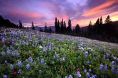 A glorious sunset, gorgeous wildflowers, tall pine trees & majestic mountains, what more could a person ask for. Looks like purple mountains majesty.