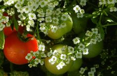 companion planting to repel insects
