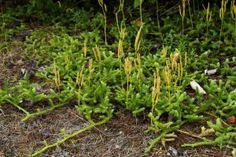 The strobilus is the spore-producing club often seen protruding above the leafy stems. Pictured is running clubmoss in the foreground and a few leaves of ground-cedar in the background. Regular moss is growing beneath the layer of dead needles.
