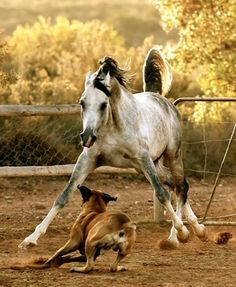 Boerboel Farm Dogs: Boerboel Romps with Arabian Horse