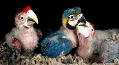 Animals And Pets, Baby Animals, Cute Animals, Love Birds, Beautiful Birds, Beautiful Things, Budgies, Parrots, Green Wing Macaw