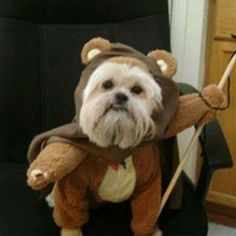 a shih tzu in an ewok costume. excuse me while I die from the cuteness overload.