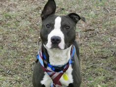 Petango.com – Meet Hawkeye 137, a 2 years 6 months Terrier, American Pit Bull / Mix available for adoption in CLEVELAND, OH