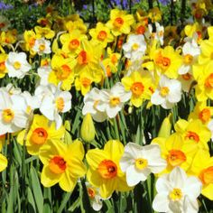 Mixed Daffodils Daffodils Planting, Planting Bulbs, Daffodil Bulbs, Bulb Flowers, Dahlias, Tulips, Yellow Cups, Deciduous Trees, Garden Beds