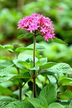 Family: Rubiaceae  Genus: Pentas  Species: lanceolata   Cultivar: Butterfly Pink. Tender Perennial. Full Sun  Sun to Partial Shade.  A very easy annual for any new gardener to grow and be successful with.