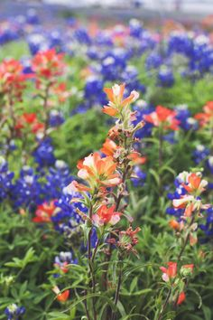 Indian Paintbrushes and Bluebonnets. Beautiful Bluebonnets in Texas #bluebonnetcapital #bluebonnets #ennistx #wildflowers #spring #texas #beautifulplaces