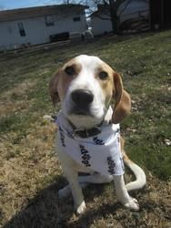 Joseph is an #adoptable Beagle Dog in #Elburn, #ILLINOIS. If you are interested in Joseph, please email Kathy at caseysdogs@yahoo.com 12/25: Found Christmas Eve, this wonderful pupwas suffering from hypotherm...