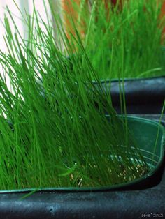 Eco-Lawn grass seed mix in pots   http://www.joenesgarden.com/2012/03/04/a-sustainable-lawn-you-can-grow-that/