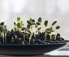 See our tips for growing these nutritious sprouts in your own kitchen!
