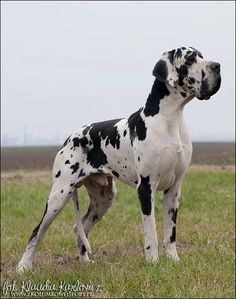 Dane Dog, Dog Cat, Mantle Great Dane, Giant Dogs, Beowulf, Real Dog, Gentle Giant, Doberman, Doge