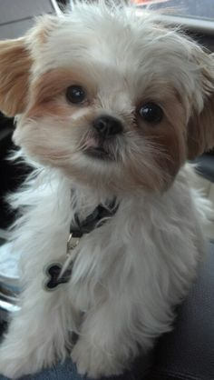 King Nocky...my adorable Shih Tzu