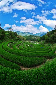 Green tea plantation in Japan
