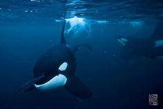 www.pegasebuzz.com | Orca, orque, killer whale, black fish. in Troms, Norway.