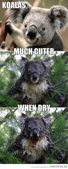 Water makes koalas angry...