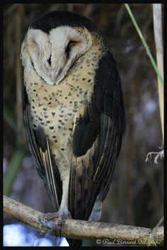 Grasuil (1) by Paul Barnard Fotografie, via FlickrGrasuil (1) Alternative Names: English: African Grass Owl German: Graseule French: Effraie du Cap