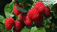 Strawberry, Vegan, Food, Tricks, Gardening, Colour Red, Garden, Colors, Agriculture