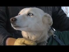 Akiak Video: Iditarod Race 2013: Missing Sled Dog Found - YouTube