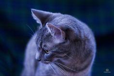 Clopin - gatto europeo Blue Tabby Servizio fotografico di Fabio-Roy Piccoli Tutti i diritti sono riservati ©