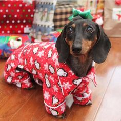 Pajamas or Christmas Present? ❤️ love the pic @doxie83 .  Check www.doxiewatches.com - designer watches - The ultimate gift for your Hooman. Use code ILOVEMYDOXIE today for a 10% discount and FREE shipping @ www.doxiewatches.com __________________