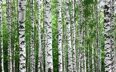 Trunks of birch trees in summer. Trunks of birch trees in spring in July ,