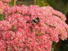 Planten Voor Bijen.32 Beste Afbeeldingen Van Bijvriendelijke Tuin Bloemen Voor Bijen