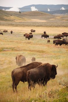 Bison in Yellowstone Especie Animal, Mundo Animal, Beautiful Creatures, Animals Beautiful, Cute Animals, American Bison, Native American Art, Old West, Animal Bufalo