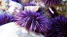 Purple Sea Urchin ( Strongylocentrotus purpuratus ) Walking in Tide Pool
