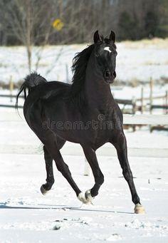 new link Most Beautiful Animals, Beautiful Horses, Beautiful Creatures, Black Horses, Wild Horses, Black Stallion Horse, Horse Photos, Horse Pictures, Akhal Teke