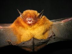 King Midas Bat foynd only in parts of Bolivia