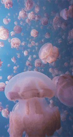 Jellyfish Gif More